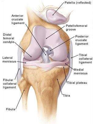 London-knee-surgeon-structure-of-the-knee